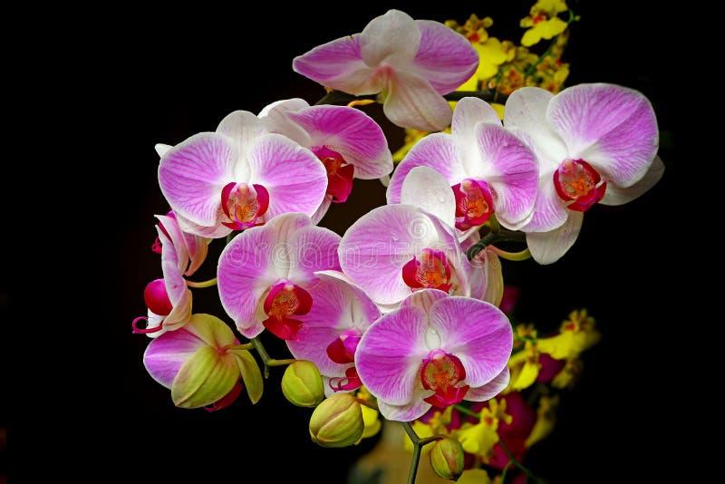 De gemeenschappelijke roze bloemen van de phalaenopsis blume orchidee royalty-vrije stock foto