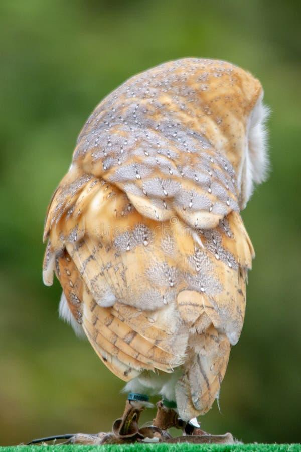 De Gemeenschappelijke Schuuruil, alba Tyto stock afbeelding
