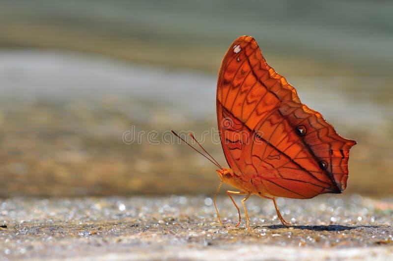 De gemeenschappelijke vlinder van de Kruiser stock fotografie