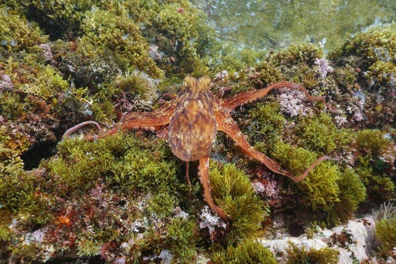 De gemeenschappelijke vulgaris Middellandse Zee van de octopusoctopus stock afbeelding