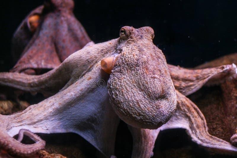 De gemeenschappelijke vulgaris octopusoctopus stock afbeelding
