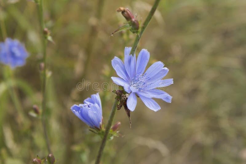 De gemeenschappelijke Witlof of Cichorium-bloesems van de intybusbloem riepen algemeen blauwe zeelieden, witlof, koffieonkruid stock afbeeldingen