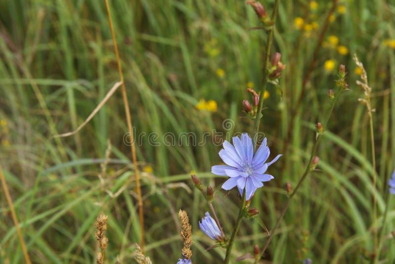 De gemeenschappelijke Witlof of Cichorium-bloesems van de intybusbloem riepen algemeen blauwe zeelieden, witlof, koffieonkruid royalty-vrije stock foto's
