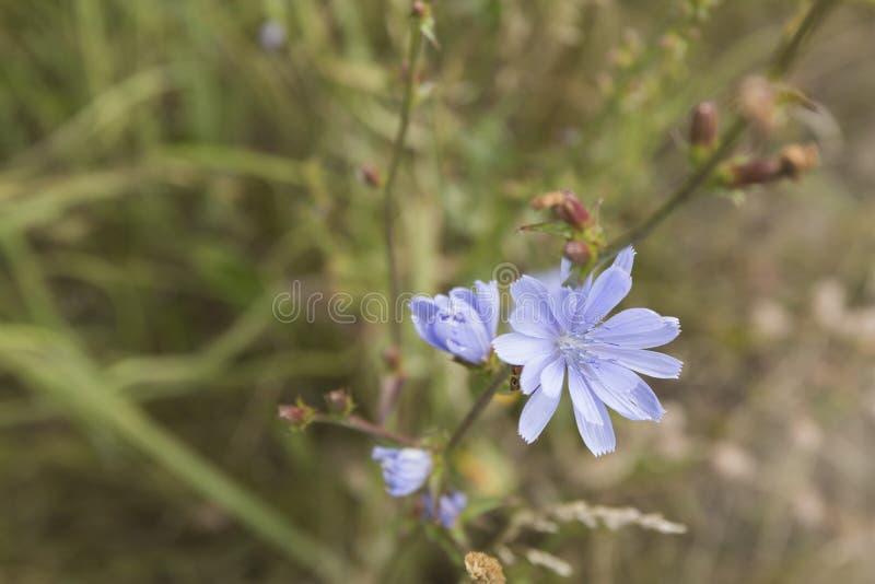 De gemeenschappelijke Witlof of Cichorium-bloesems van de intybusbloem riepen algemeen blauwe zeelieden, witlof, koffieonkruid stock fotografie