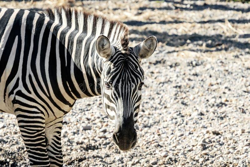 De gemeenschappelijke zebra van vlaktes Gestreepte Equus Burchelli royalty-vrije stock foto