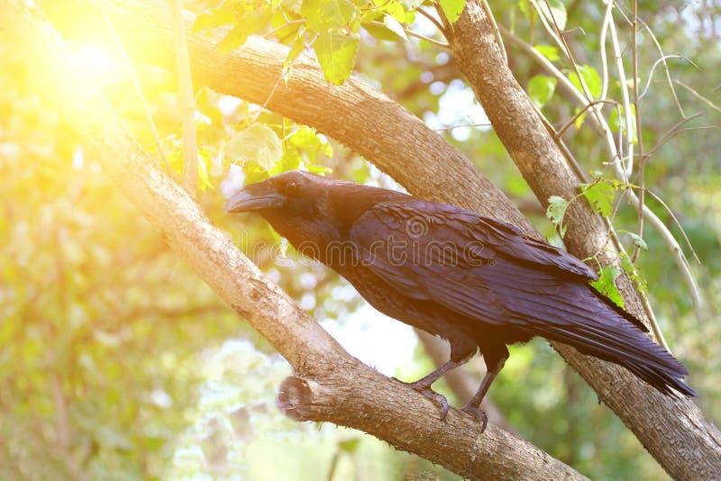 De gemeenschappelijke zitting van raafcorvus corax op een boom in zonnige dag Grote Raaf royalty-vrije stock afbeeldingen