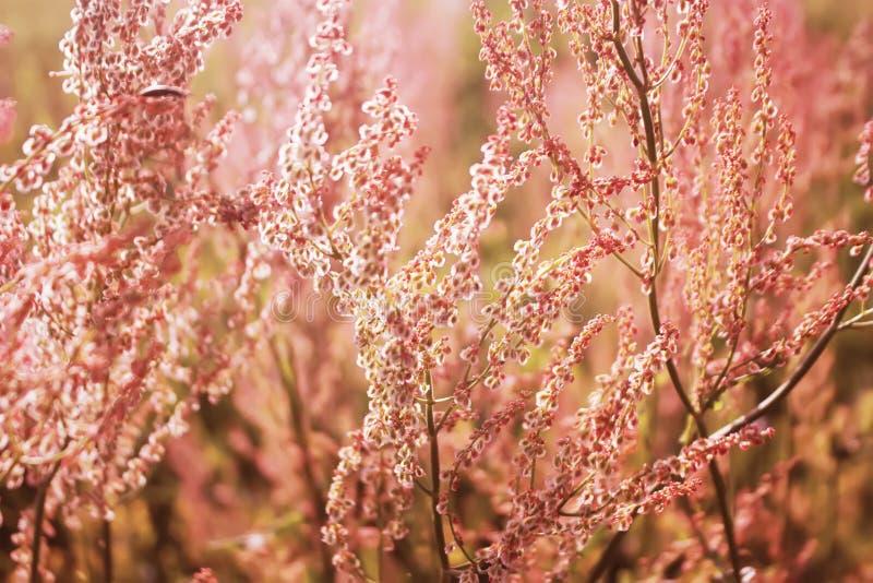 De Gemeenschappelijke zuring van Rumexacetosa, tuinzuring, spinaziedok of smal-leaved dok in bloei Bloemen achtergrond royalty-vrije stock fotografie