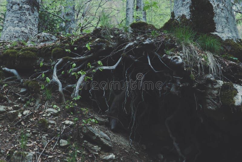 De gemengde stok van de bomenwortels van Greenwood bos, bemoste uit groun stock fotografie