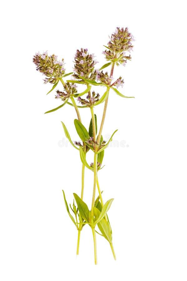 De geneeskrachtige die installatie van thyme op witte achtergrond wordt geïsoleerd wordt ook als additief in thee gebruikt die nu stock fotografie