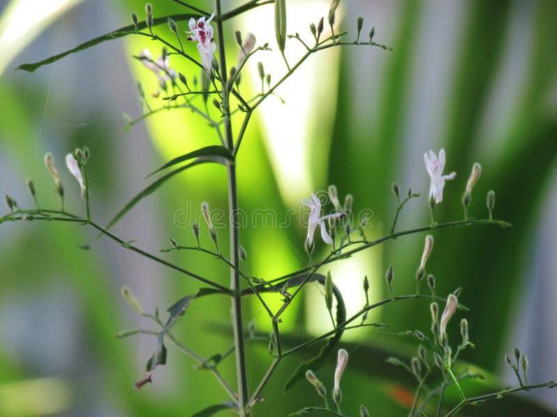 De geneeskrachtige installaties Andrographis Paniculata leiden tot, Kariyat, Indische Echinacea met kleine witte bloemen op boom stock fotografie