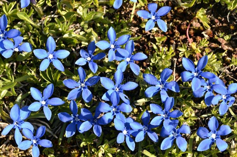 De Gentiaan van de lente in de Franse Alpen stock foto