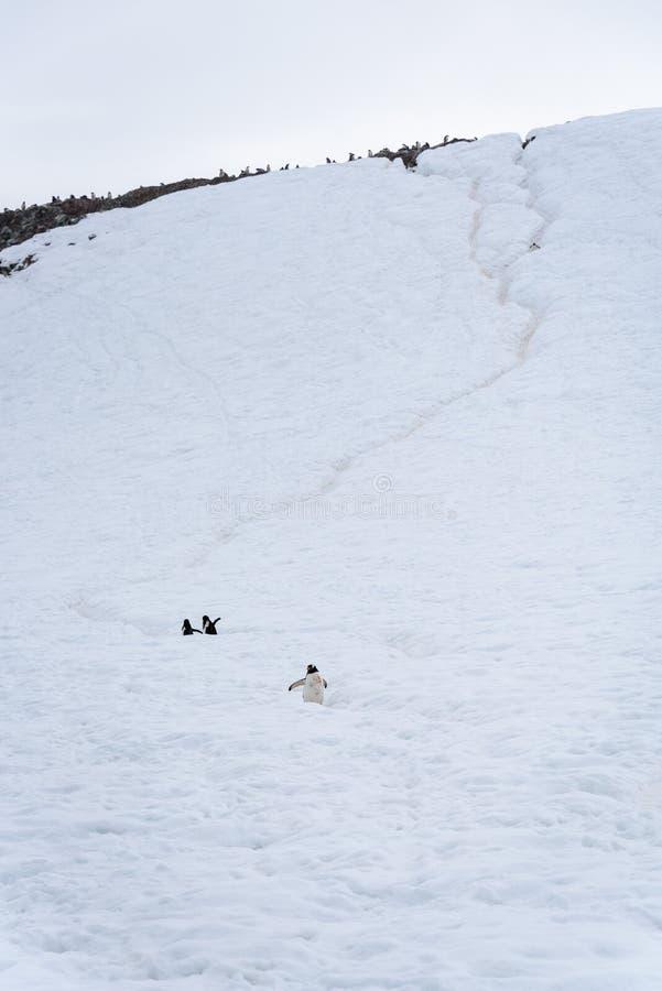 De Gentoo-pinguïnen die op een diepe pinguïnweg reizen op een sneeuw behandelden heuvel, Danco-Eiland, Antarctica royalty-vrije stock afbeelding