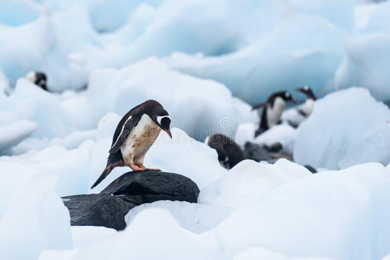 De Gentoopinguïn die zich op een rots bevinden amid beached ijsbergen, meer pinguïnen op de achtergrond, Cuverville-Eiland, Ant royalty-vrije stock afbeeldingen