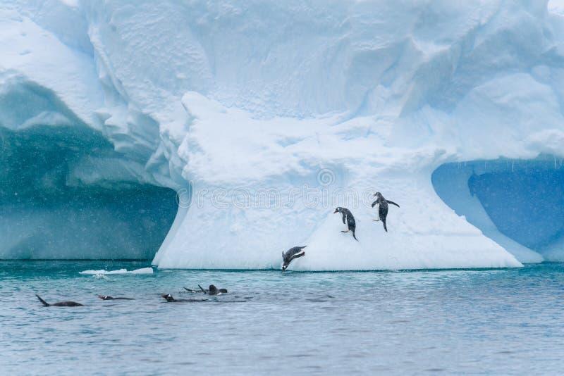 De Gentoopinguïnen die op een grote sneeuw spelen behandelden ijsberg, pinguïnen die uit het water op de ijsberg springen, duik stock afbeelding