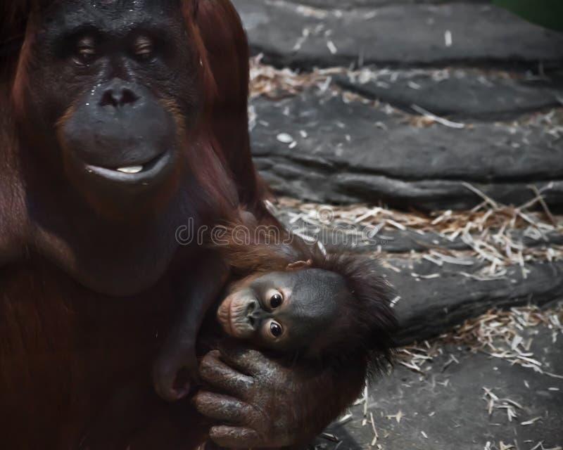 De gepacificeerde moederorangoetan en haar weinig welp zijn een baby royalty-vrije stock afbeeldingen