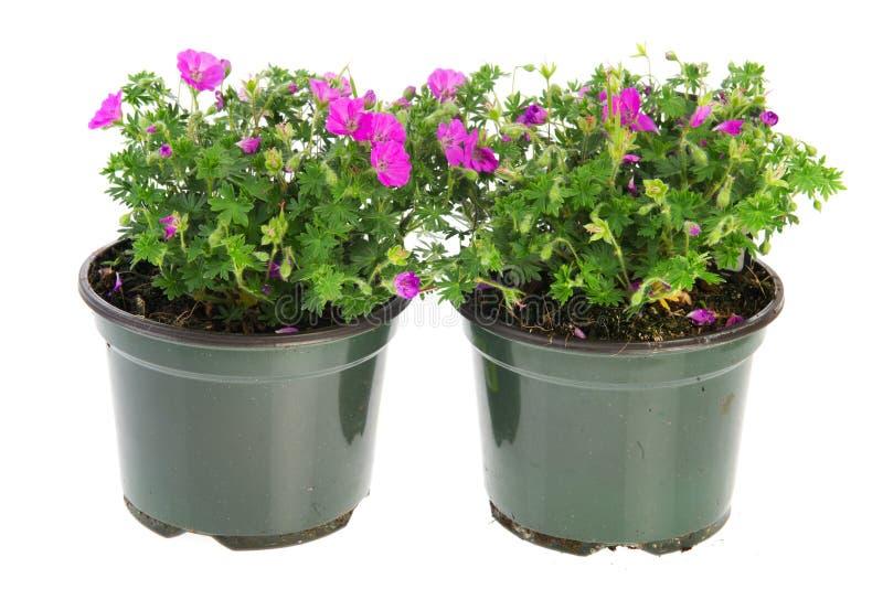 De Geranium van de tuin in roze stock fotografie