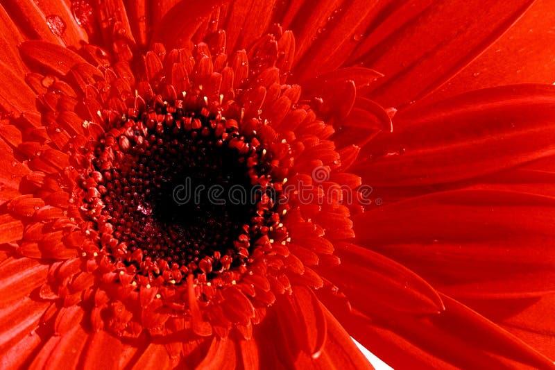 Download De Gerber fim acima foto de stock. Imagem de vermelho, flor - 66468