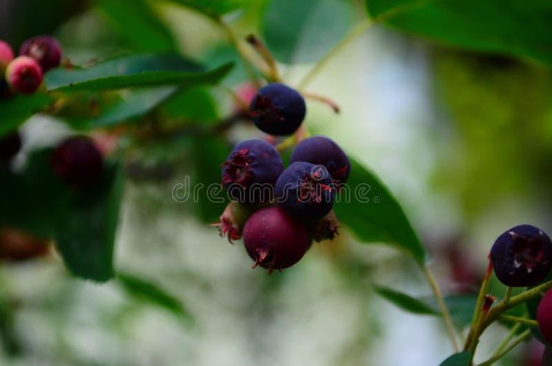 De gerijpte vruchten van shadberry op een tak royalty-vrije stock foto's
