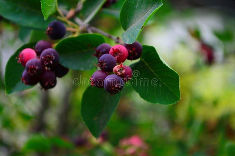 De gerijpte vruchten van shadberry op een tak stock afbeelding