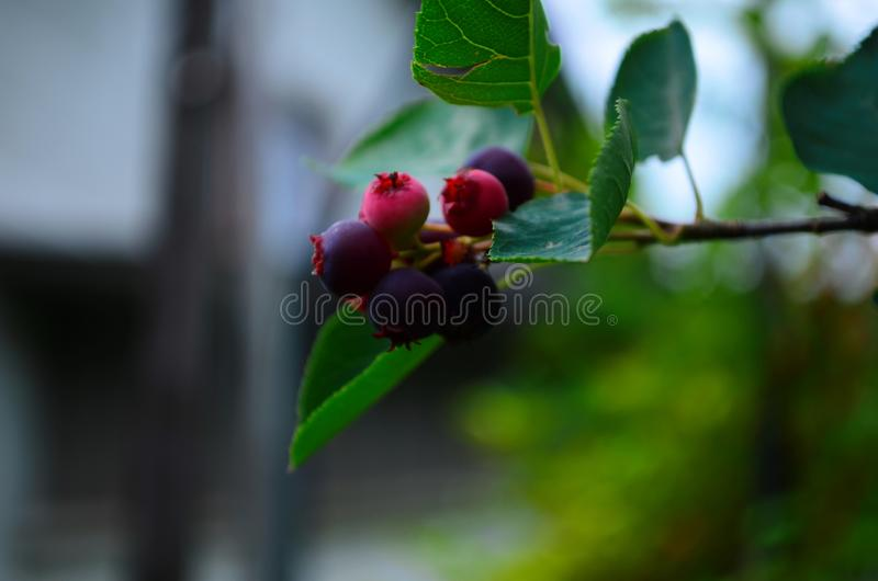 De gerijpte vruchten van shadberry op een tak stock fotografie