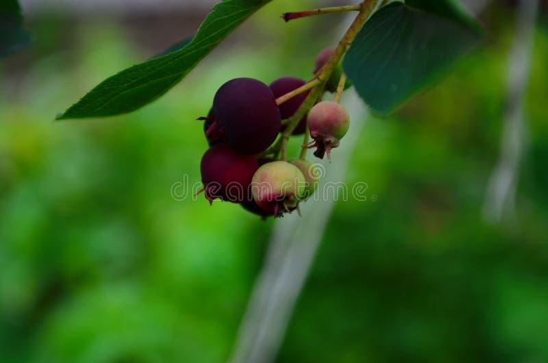 De gerijpte vruchten van shadberry op een tak stock foto's