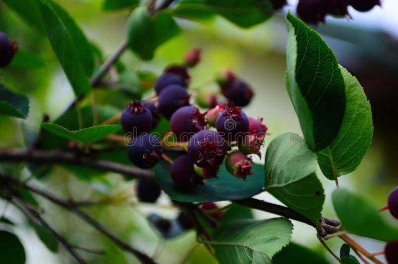 De gerijpte vruchten van shadberry op een tak royalty-vrije stock afbeelding