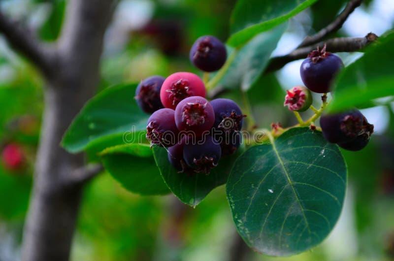 De gerijpte vruchten van shadberry op een tak royalty-vrije stock foto