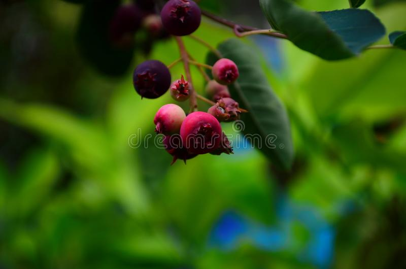 De gerijpte vruchten van shadberry op een tak royalty-vrije stock afbeeldingen