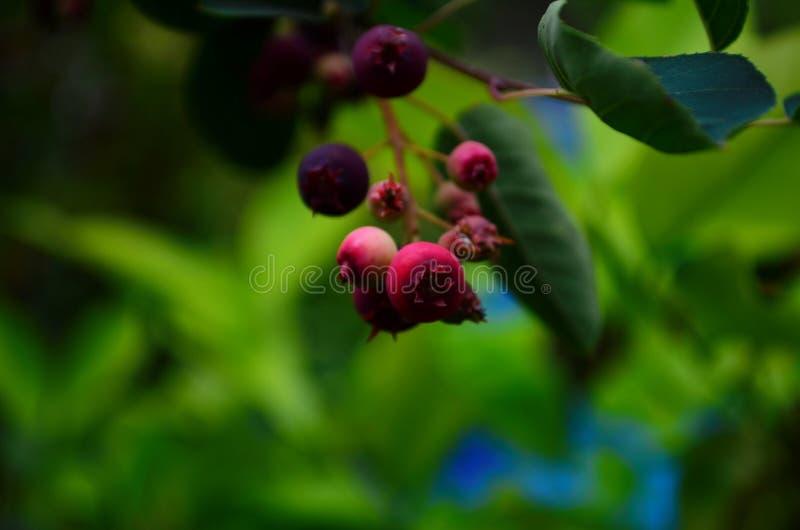 De gerijpte vruchten van shadberry op een tak stock afbeeldingen
