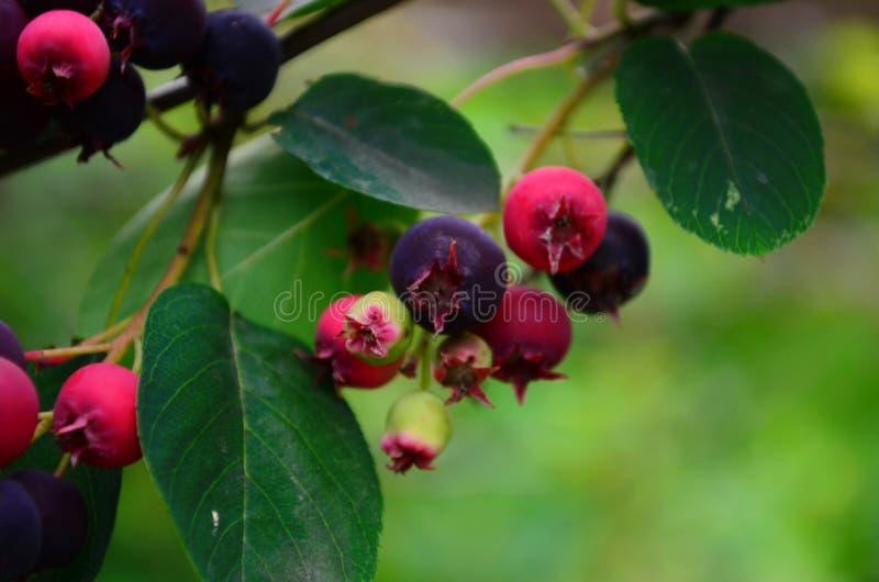 De gerijpte vruchten van shadberry op een tak stock foto