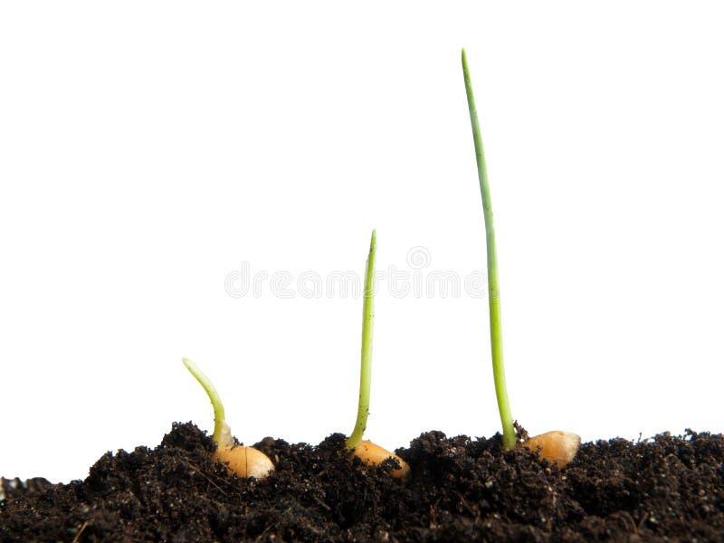 De germinatie van tarwezaden royalty-vrije stock afbeelding