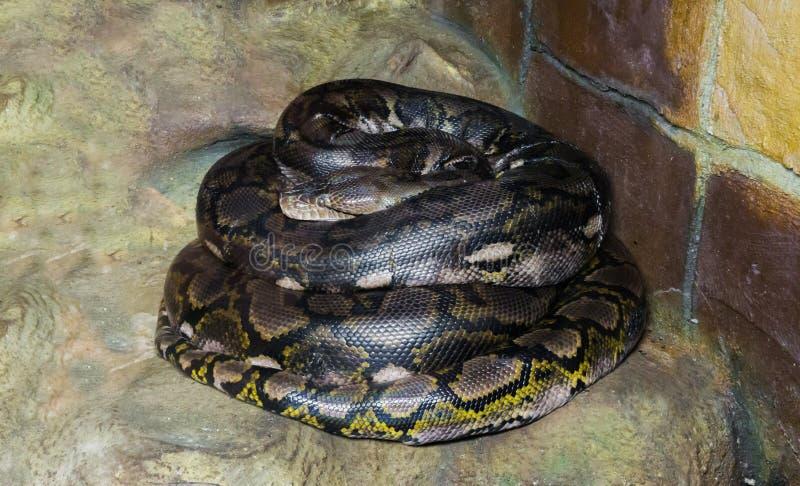 De gerolde omhoog langste slang met een netvormig patroon van pythonwerelden zijn er, gevaarlijk groot constrictor en een roofdie stock afbeeldingen