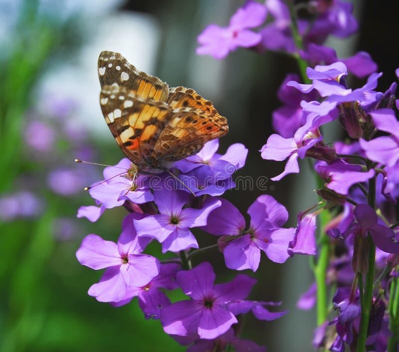 De geschilderde damevlinder op Purpere bloemen van Hesperis stock afbeeldingen