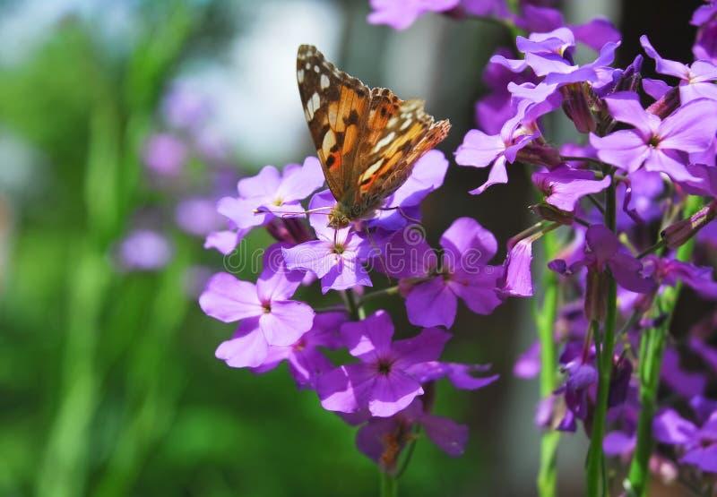 De geschilderde damevlinder op Purpere bloemen van Hesperis stock afbeelding
