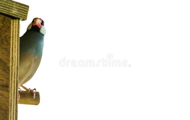 De gestreepte die zitting van de vinkvogel op een vogelhuis op een witte achtergrond wordt geïsoleerd stock fotografie