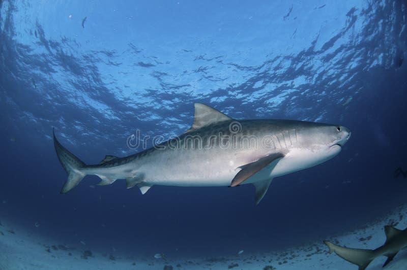 De gestreepte haai van de Tijger royalty-vrije stock fotografie