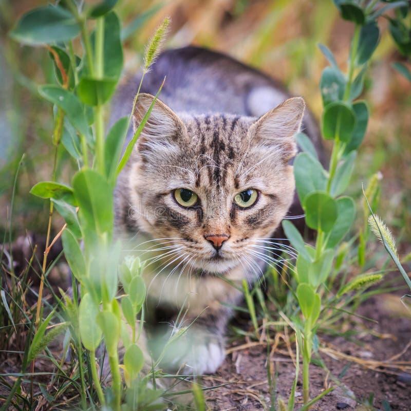 De gestreepte kat jaagt in het gras royalty-vrije stock foto