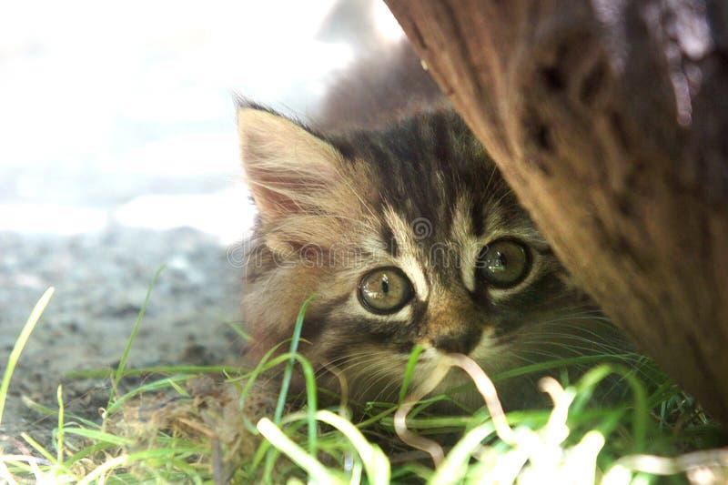 De gestreepte kat weinig leuk katje neemt achter een boom heimelijk stock afbeeldingen
