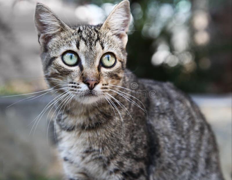De gestreepte katkat royalty-vrije stock afbeelding