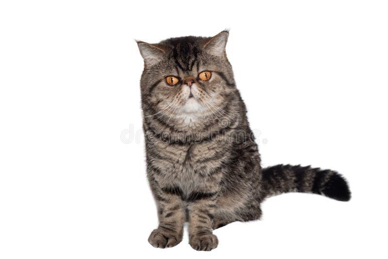 De gestreepte katkat van ras exotische shorthair zit op een witte achtergrond isoleer royalty-vrije stock fotografie