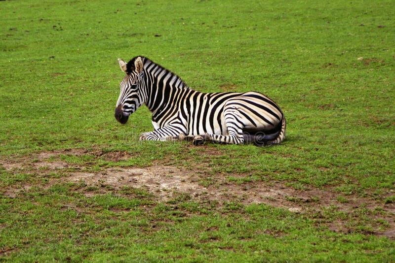 De gestreepte rust van burchelliiboehmi van Böhm Equus op een weide royalty-vrije stock fotografie