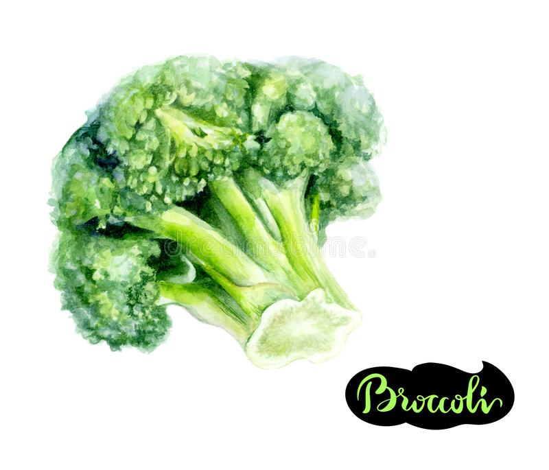 De getrokken die illustratie van de broccoliwaterverf hand op wit wordt geïsoleerd stock illustratie