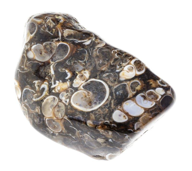 de getuimelde steen van het turritella fossiele agaat op wit royalty-vrije stock afbeelding