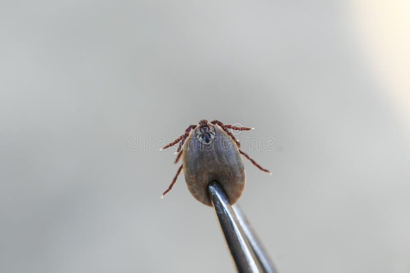 De gevaarlijke blood-sucking tang van het insectmijt teruggetrokken metaal royalty-vrije stock foto