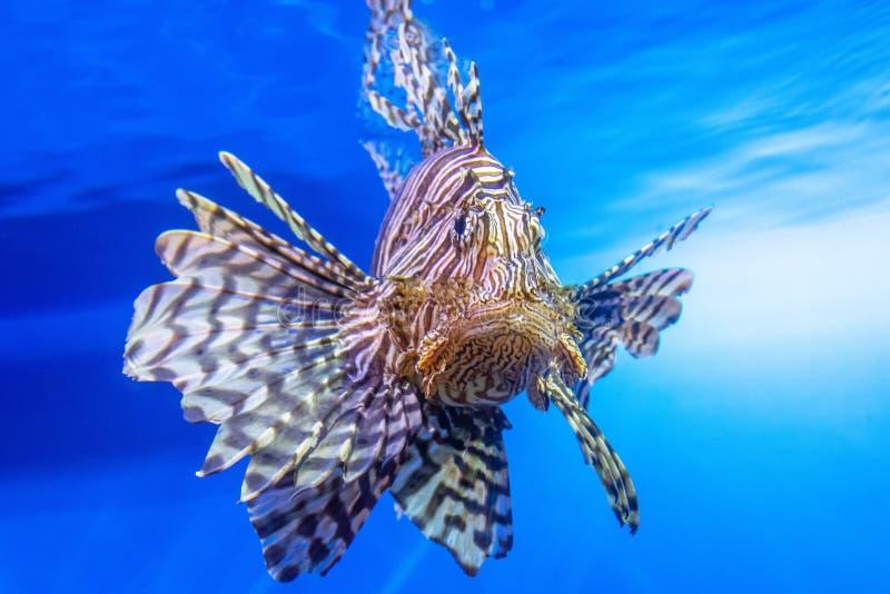 De gevaarlijke gestreepte vissen van Lionfish in het mediterrane zeewater stock fotografie