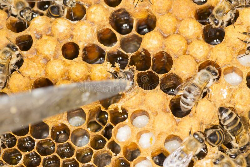 De gevaarlijke mijt is een ongedierte in een bijenbijenkorf stock fotografie