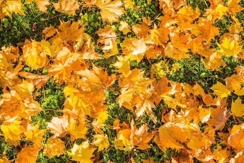 De gevallen gouden gele bladeren van de bladerenesdoorn in de herfstpark stock foto
