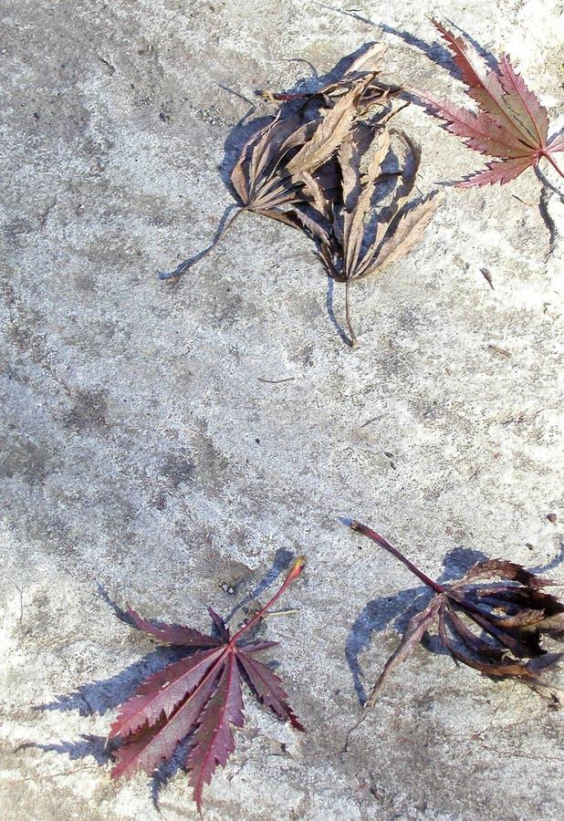 De Gevallen Japanse Bladeren Van De Esdoorn Stock Foto's