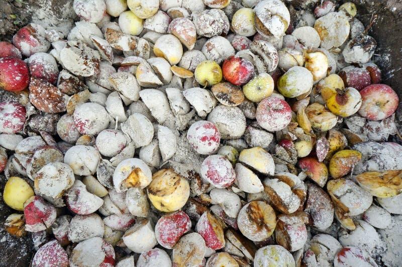 De gevallen rotte en slechte appelentuinlieden begraven in diep pitegat w stock fotografie