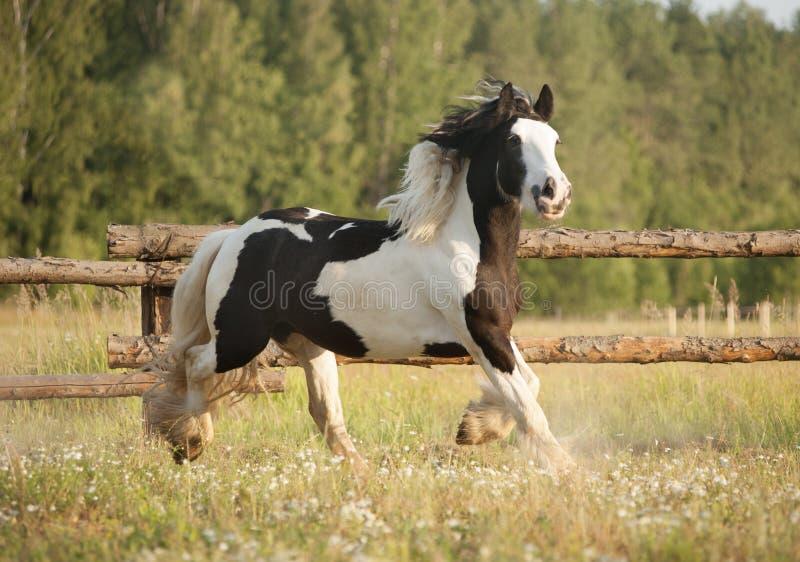 De gevlekte galop van het zigeuner vanner paard in weiland stock afbeeldingen